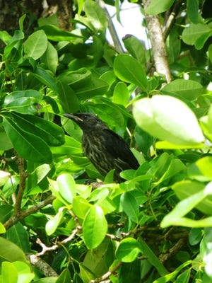 Micronesian starlings, once abundant on Guam, have dramatically reduced in numbers since the introduction of the invasive brown tree snake to Guam.