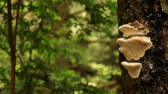 Fungi grows on some of the trees above Fern Canyon in California's Prairie Creek Redwoods State Park.
