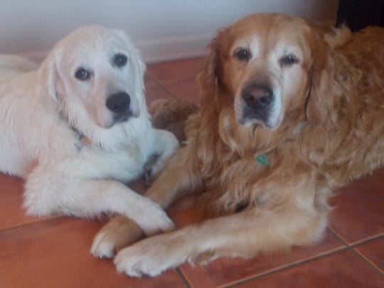 Tucker, 4 is the English Cream Golden Retriever and Hunter is the American Golden, 13.