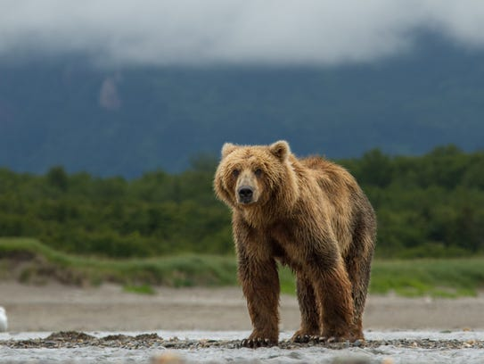 Does a bear loom in 2016?  Handout photo, Disney
