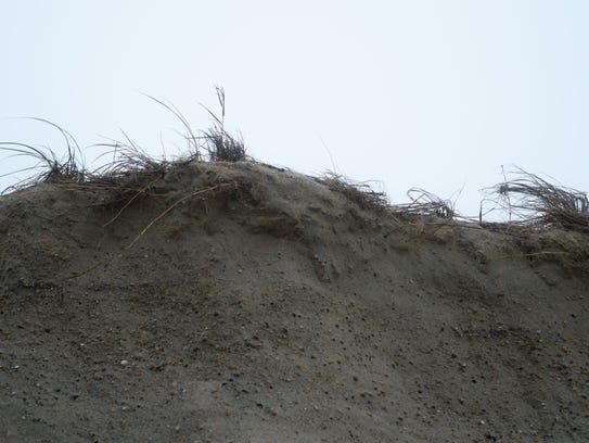 A close up of dune grass, which helps keep the dunes