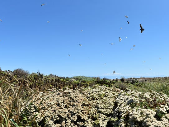California brown pelicans and western gulls soar above
