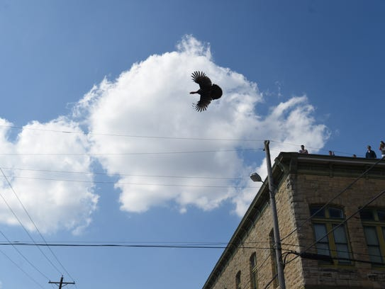 A turkey takes to the air Saturday afternoon after