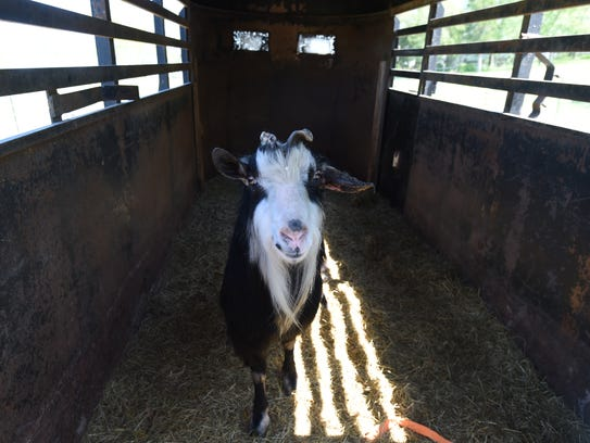 Murph the goat spends a lot of time in this trailer
