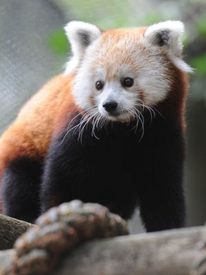 Scarlett, mother of the new red panda twin boy cubs at the Knoxville Zoo's Boyd Family Red Panda Village Thursday, July 31, 2014. More red pandas have been born at the zoo than at any other in the world. The cubs were born to mother Scarlett, and father Madan on June 23.