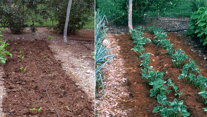 A renovated strawberry bed, left, a few weeks later, will burst back to life, ready for next spring's crop.