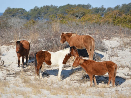 The Maryland herd on Assateague Island numbers 81 horses, said Kelly Taylor, assistant public information officer.