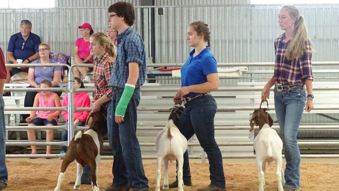 Youth in 4-H compete Thursday in the born, bred and raised category of the market wether show at the Marion County Fair.