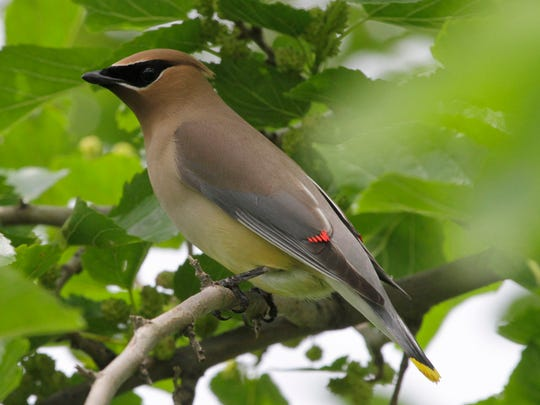 Cedar waxwings are among the region's most beautiful
