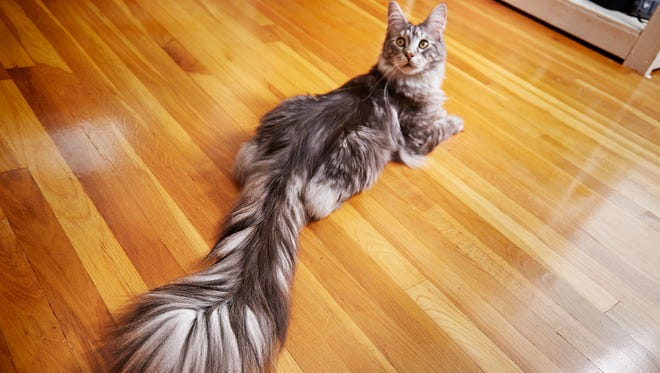 This undated photo provided by Guinness World Records 2018 shows Cygnus, a Silver Maine Coon cat, of Ferndale, Mich.