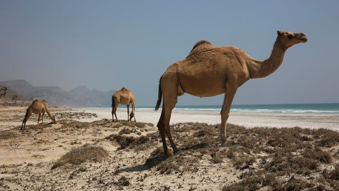 In this Feb. 17, 2018 photo, three camels graze on beach shrubs along the al-Maghsail beach, near Salalah, in southern Oman. A city in Oman may have set the all-time world record for hottest nighttime low temperature this week.