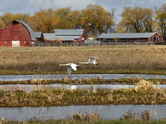 Wildlife managers point to the success of trumpeter swans in the Mission Valley as proof that good things happen when organizations and landowners work together to preserve habitat.