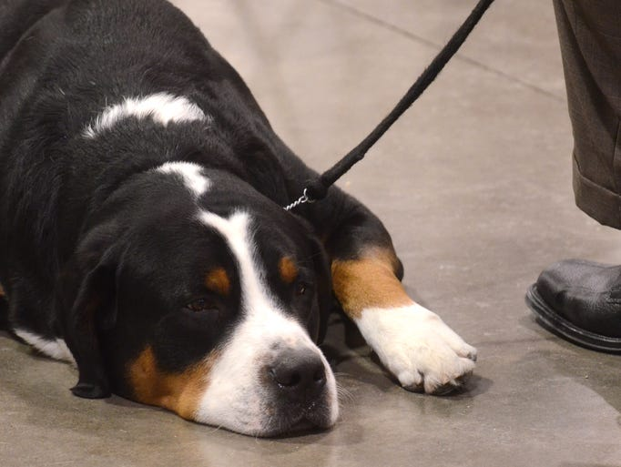 A dog takes a break on the floor of the Suburban Collection