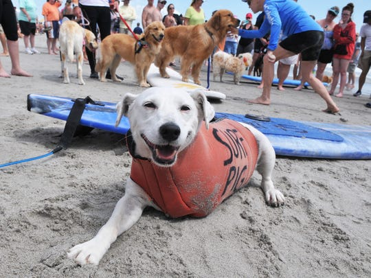 In 2018, Surf Pig took top honors at the Brevard Humane Society's East Coast Dog Surfing Competition at Lori Wilson Park in Cocoa Beach. This year's Easter Pro/Am was going to be dedicated to the three-legged Jack Russell Terrier, who died earlier this year.
