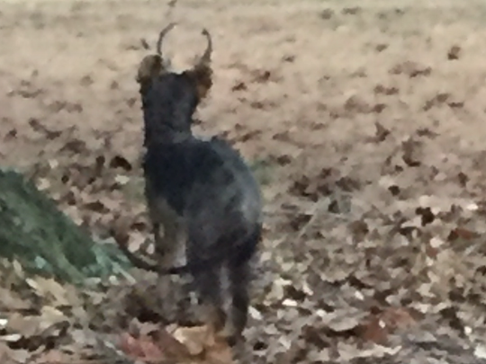 A zoomed-in view of the animal John Meyers saw while camping in Arkansas.