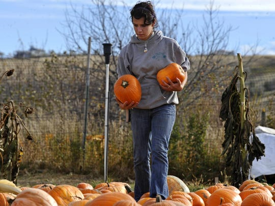 Tori Stroh of Tilleraas Landscape Nursery places more pumpkins out in the pumpkin patch and hay maze.