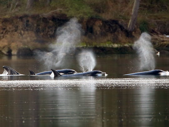 A pod of transient orcas swim up Dyes Inlet in April.