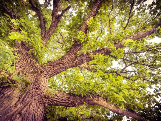 A Bur Oak tree is a good bet for shade.