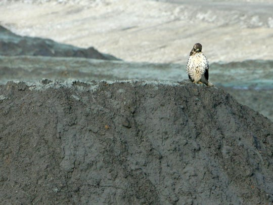 A hawk sits on top of a pile of coal fly ash that spilled