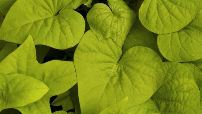 A sweet potato vine plant.