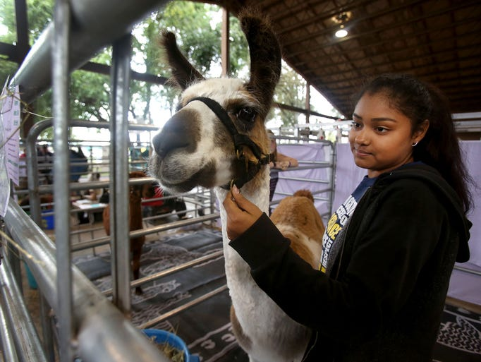 4H member Emily Kennen holds her llama Sandy as visitors
