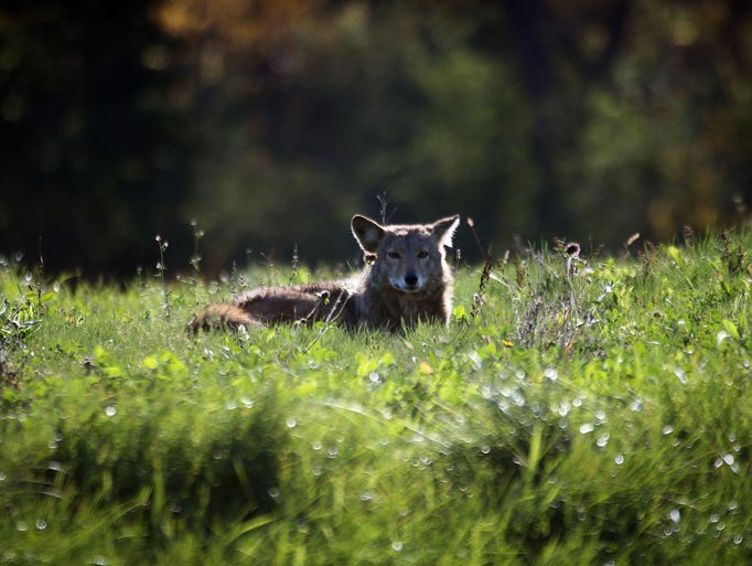 A coyote rests in the morning sun near 63rd Street