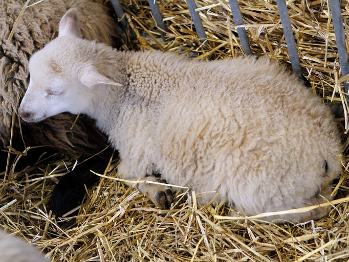 A Shetland sheep curls up in a pen at the Wisconsin