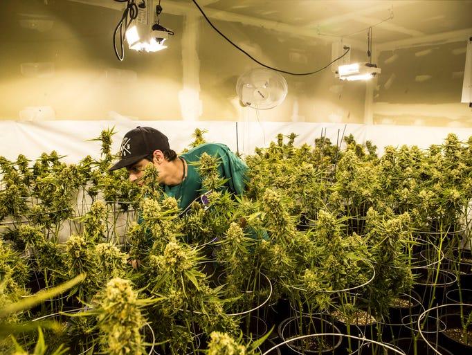 choice cannabis checks a watering marijuana plant at an indoor grow. Black Bedroom Furniture Sets. Home Design Ideas