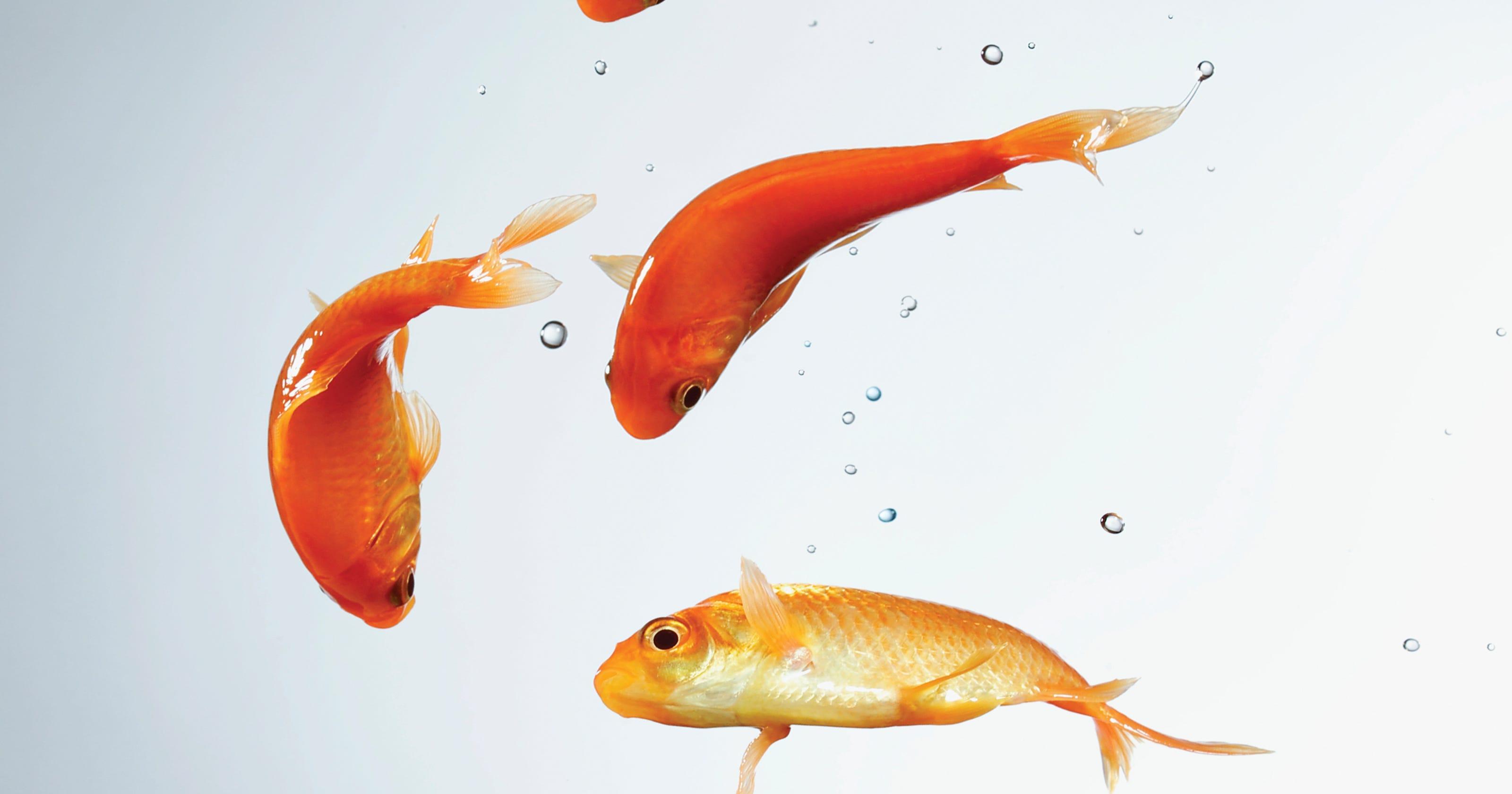 hotel goldfish kimpton eliminates in room aquariums