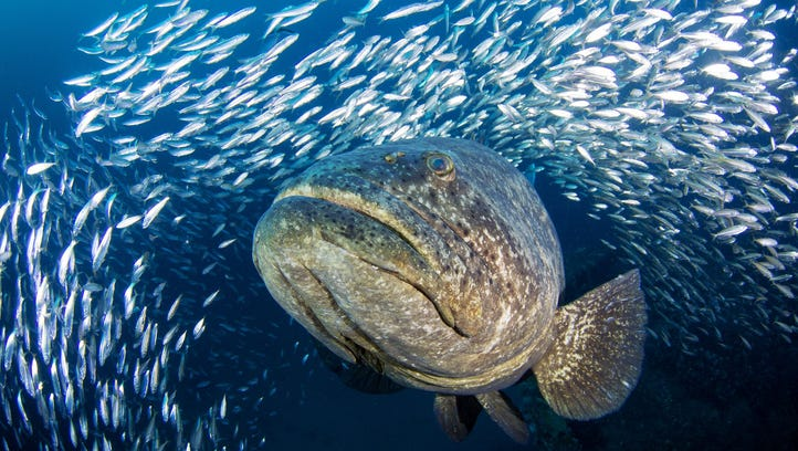 Grace the goliath grouper gets her day