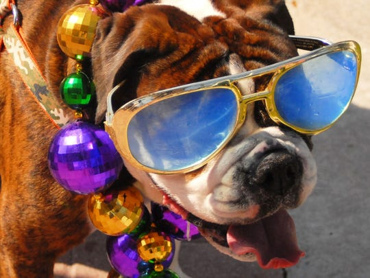 "The bulldog was too cool to drool during Central Brevard Humane Society's Mardi Gras ""Paws in the Park."""