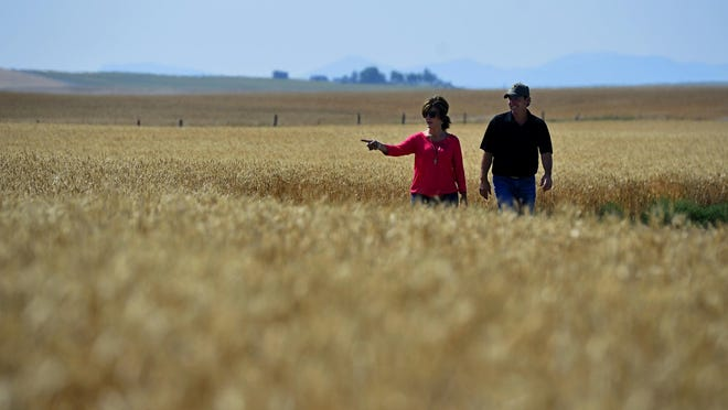 Trampus and Staci Corder of Corder and Associates walk in a field of wheat at their farm in Fort Benton.