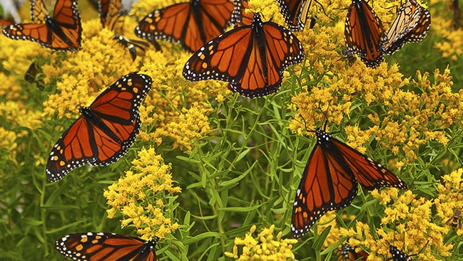 Monarch butterflies overwinter in Mexico then flap up to the US and Canada in spring and summer.