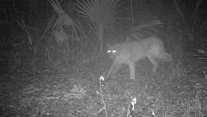 A cougar sighting was confirmed in northeast Louisiana and officials there say it could be in Mississippi.