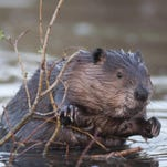 Beavers are Florida's largest rodent, weighing between 30-50 pounds.