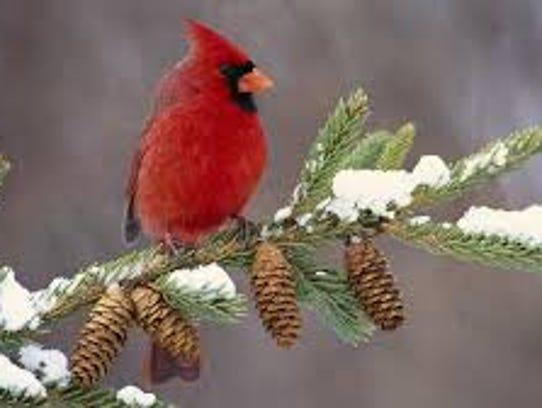 Cardinal in winter.