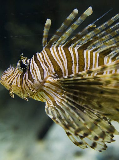 Lionfish at OdySea Aquarium near Scottsdale on Sept. 7, 2016.