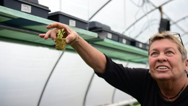 Cindy Stevens shows one of the seedlings as the grow at the Bearhole Farm aquaponics gardens. Thursday, Jan. 5, 2017.