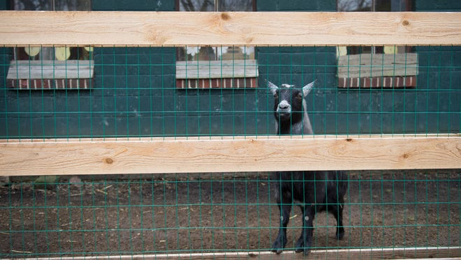 A pygmy goat on site at the Paws Discovery Farm in Mount Laurel.