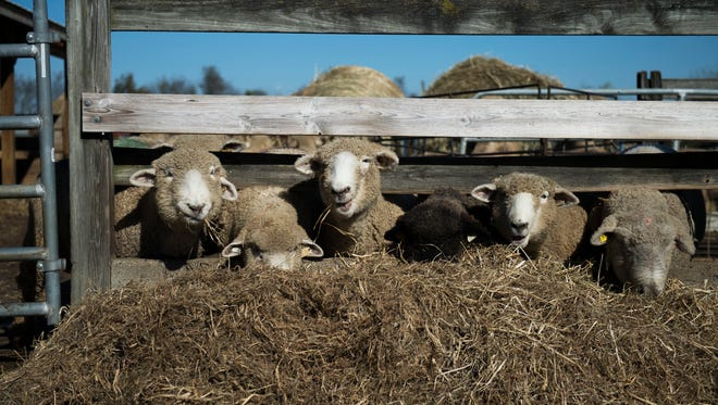 A group of sheep feed on site at the Little Hooves farm Tuesday, Oct. 31, 2017 in Moorestown, New Jersey. The sheep farm is home to nearly 300 sheep and is the largest in South Jersey.