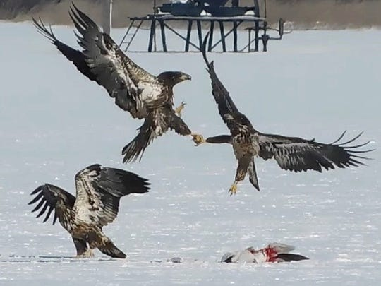Two juvenile bald eagles come to blows over which one is going to get to eat a snow goose.