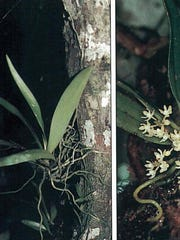 The Tuberolabium guamense, a type of orchid found on Guam and Rota, is among 23 species of plants and animals that could be listed as threatened or endangered. It is threatened by agriculture andn development, rats, nonnative plants, fire and storms. U.S. Fish and Wildlife Service