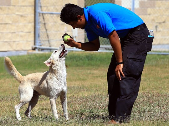 Cam a Labrador retriever plays with Kennel Technician Walter Lopez on Thursday, Aug. 17, 2017, at the Corpus Christi Animal Control in Corpus Christi. Animal control will waive adoption fees this Saturday when someone brings in a pet food donation.