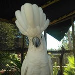 Lala, an umbrella cockatoo, who lives at the Shell Factory & Nature Park in North Fort Myers.
