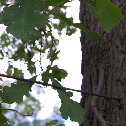 A sneeze can ruin a perfectly good day of bow hunting, as evidenced by this wayward arrow in a tree.