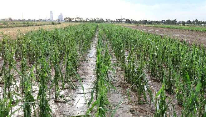 Panhandle corn stalks shredded by a hail storm July 2-3 likely will not recover, according to Texas A&M AgriLife Research officials.