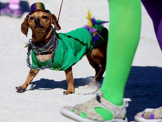 A dog wears Mardi Gras attire during the seventh annual Barefoot Mardi Gras parade Saturday, Feb. 6, 2016, in Corpus Christi.