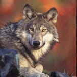 Radio-collared wolves OR25 and OR30 have moved out of their home packs and established territories of their own, prompting two new designated Areas of Known Wolf Activity and advisories for owners of livestock to take preventative measures.