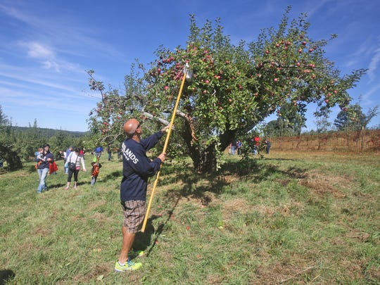 Frank Melagrano of Yorktown uses a poll to reach apples as he spends the afternoon apple picking with family at Wilkens Fruit & Fir Farm in Yorktown Heights Sept. 14, 2014.