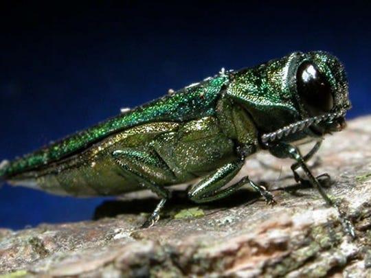 emerald ash borer.jpg